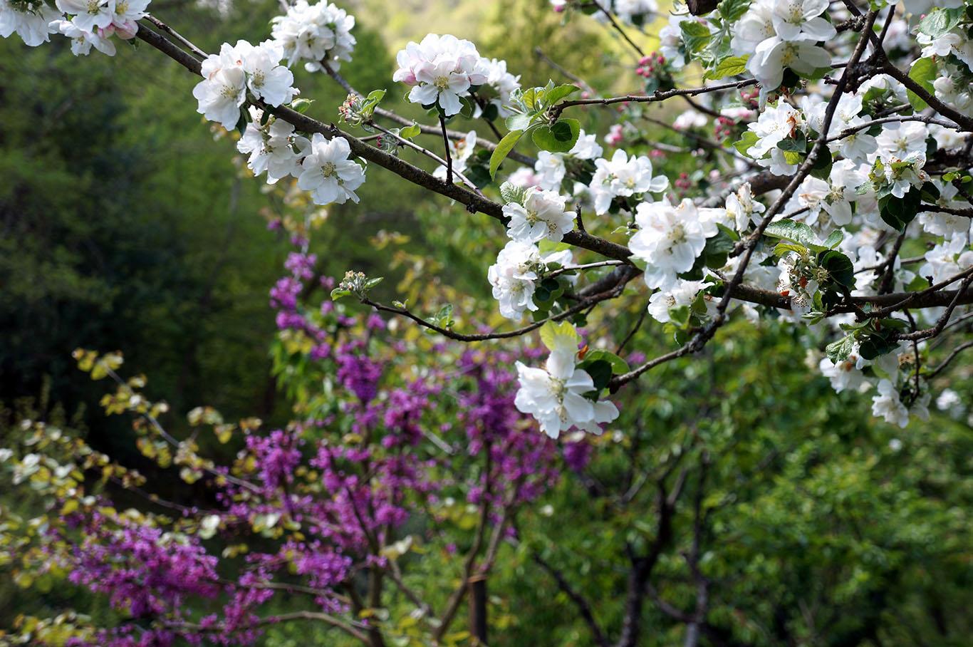 El jard n de la barrosa lluvia de p talos blancos la floraci n de los rboles frutales - Membrillo arbol ...
