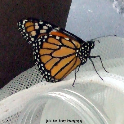 New Monarch Butterfly in 8 Days Drying Wings June 3, 2018