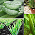 Immortality Plant Can Give You Amazing Health Benefits!