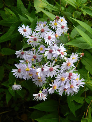 Calico Aster Symphyotrichum lateriflorum at the Toronto Botanical Garden Nature by garden muses--not another Toronto gardening blog