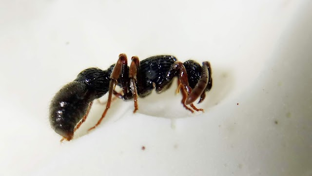 邵氏粗角蟻 Cerapachys sauteri
