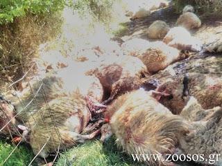 Άγναντα Ηλείας: Του έσφαξαν 51 πρόβατα