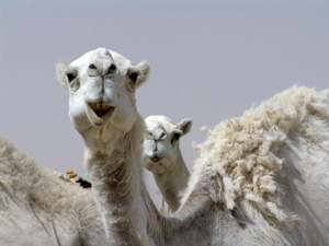 c622683a1 Domesticated thousands of years ago by frankincense traders, who trained  camels to make the long and tortuous journey from southern Arabia to the  northern ...