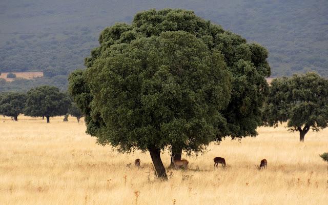 Ciervos hembras y cervatillos en Cabañeros