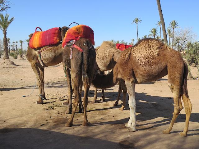 Camellos en el Palmeral de Marrakech