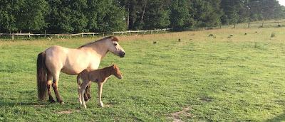 Unser Fohlen steht mit seiner Mutter auf der Weide