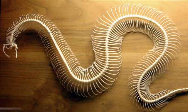 tulang ular