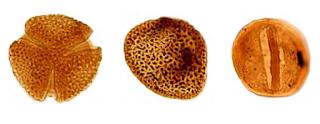 Palinologi, Ilmu yang Mempelajari tentang Fosil Spora dan Pollen