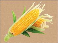 corn - le maïs - Zea mays