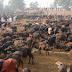 Gadhimai Festival and Gadhimai Mela, Bara-Nepal, killing of animals