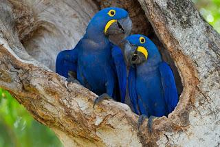 https://bio-orbis.blogspot.com.br/2014/01/de-volta-ao-pantanal-arara-azul.html
