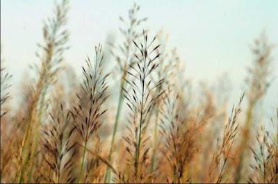 Dại khờ cỏ may - Góc thơ