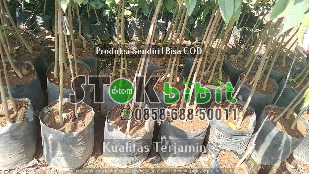 Durian Bawor | Jual Bibit Durian Bawor | Bhineka Bawor    terjamin     berkualitas