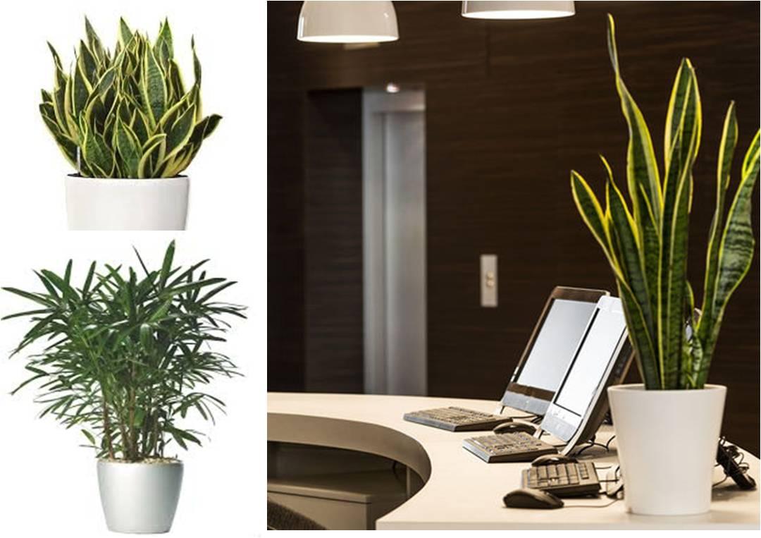 Piante Ufficio Ossigeno : Feng shui crogiolo d oro le piante per purificare l aria in casa