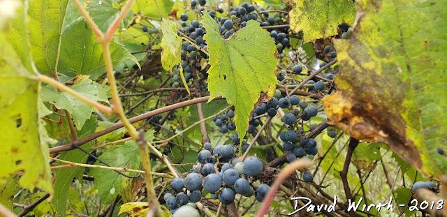 wild red wine grapes, vine, united states, michigan