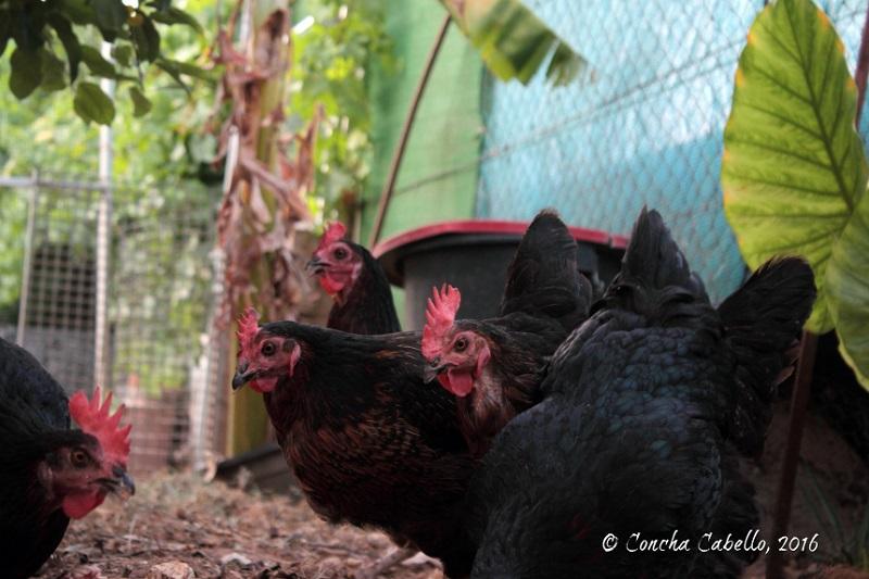 nuestras-gallinas-felices