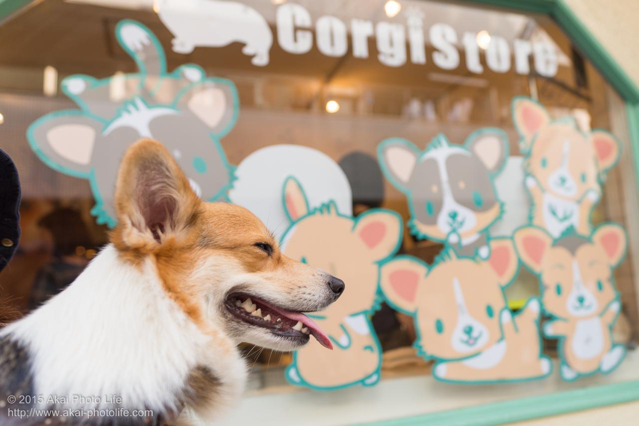 Corgi Storeで撮影したコーギーの写真