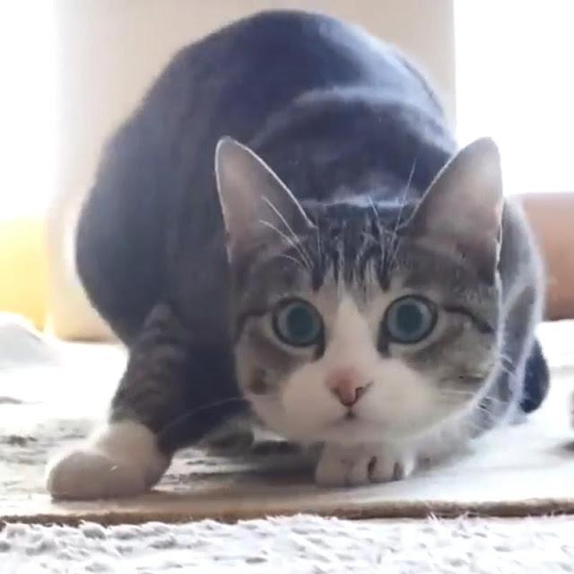 Cat Dancing Wallpaper Engine