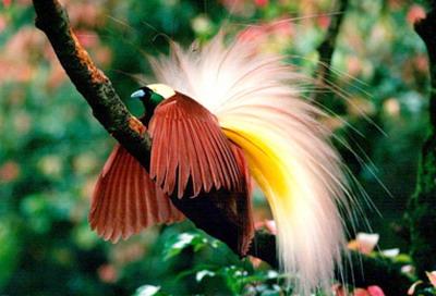 Burung Cendrawasih Dan Asal Usulnya Inside Area