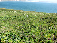 flowers on the headlands, Point Reyes National Seashore, CA