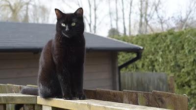 Черный кот на заборе