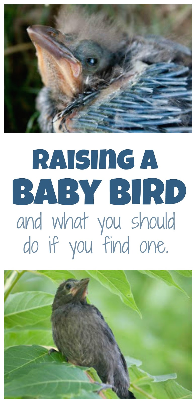 If You Find A Baby Bird And Have Access To Wildlife Center Seek Help Read The End See How Identify Is One In Need Of