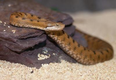 Poisonus Snakes