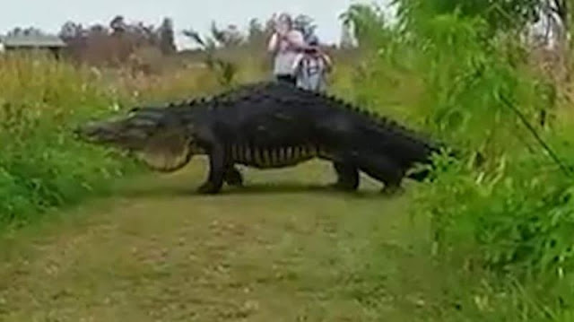 Serem, buaya jenis baru besar banget mirip Jurasic Park terekam kamera