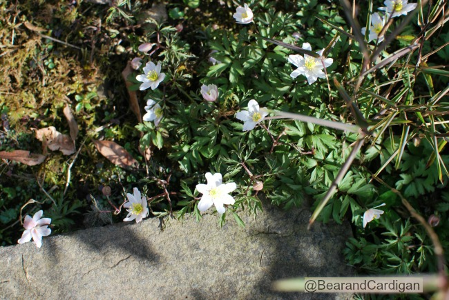 A Cardiff Garden In March white celandine next to stone path