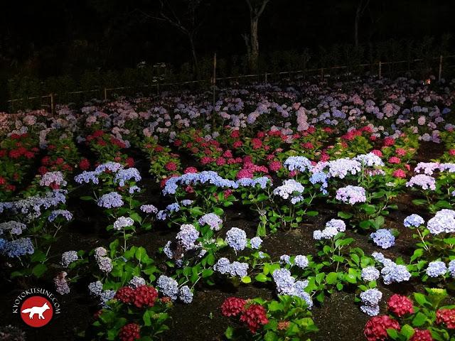 Hortensias de divers couleurs du temple Mimurotoji de Uji à Kyoto