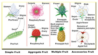 4 type of fruits definitions