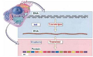 Proses transkripsi dan translasi.