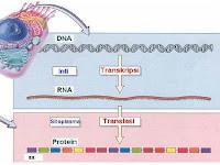 Urutan Tahapan Proses Sintesis Protein Dan Pengertian Sintesis Protein