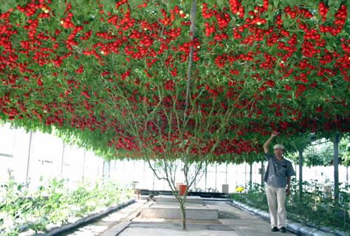Soil less farming 25 kg of tomato per plant what 39 s new for Soil less farming