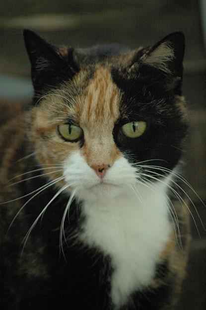 Tortie cat Pebbles