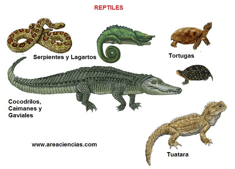 a description and discussion of reptiles and their habitats Buy amphibians, reptiles, and their habitats this book presents annotated and illustrated descriptions of the amphibians and reptiles representing a study.