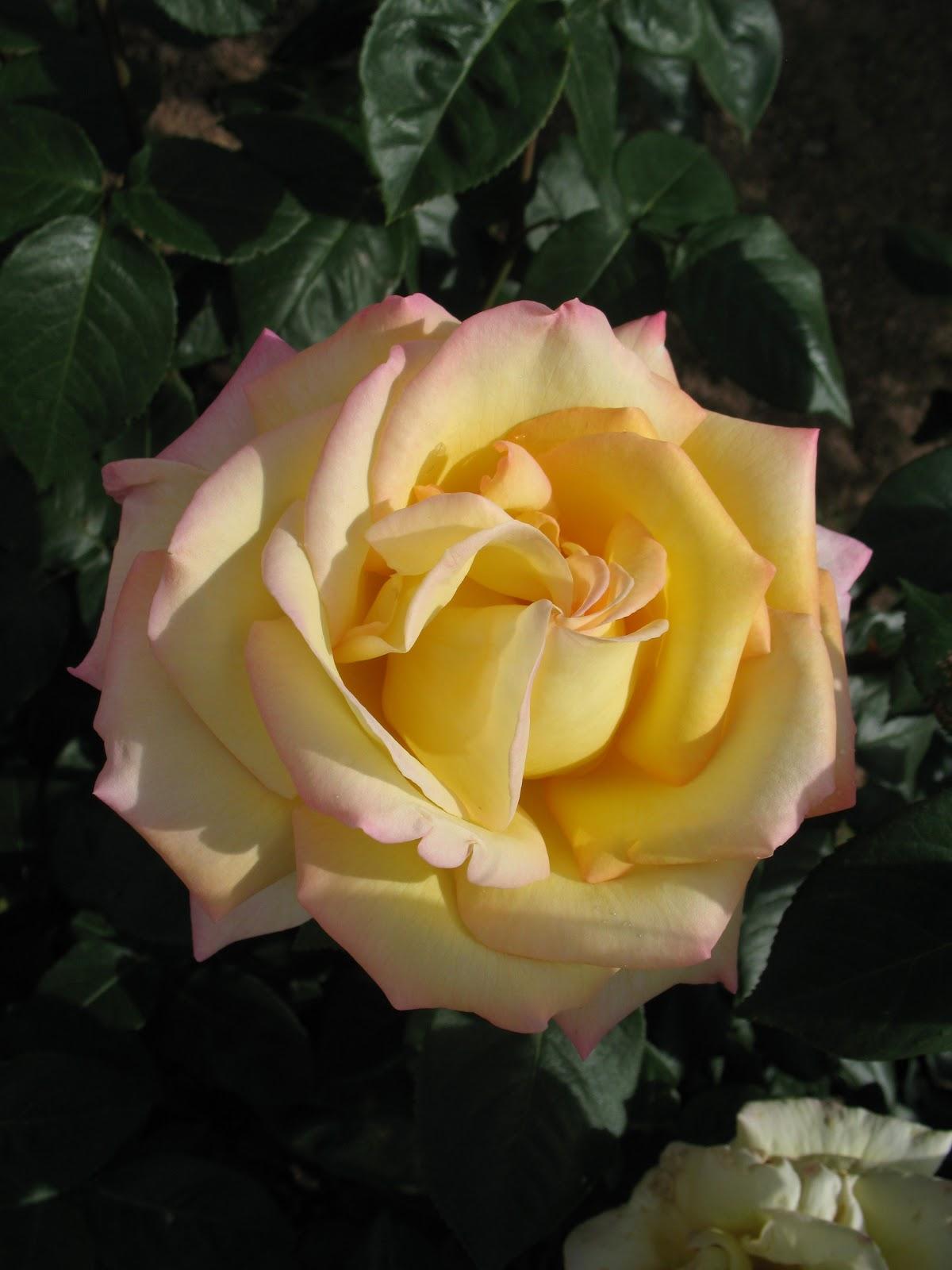 roses du jardin ch neland taille des rosiers. Black Bedroom Furniture Sets. Home Design Ideas