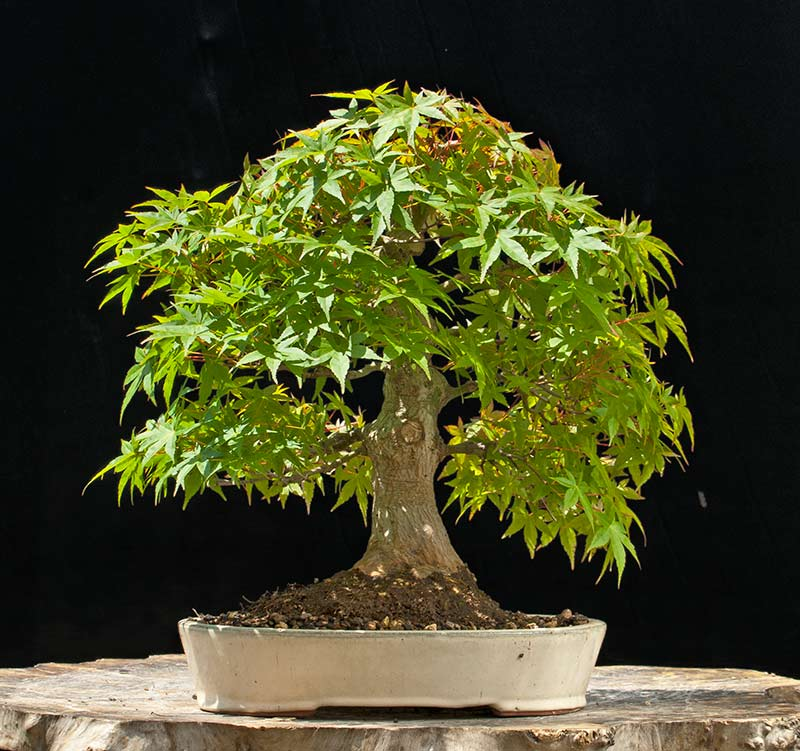 Walter Pall Bonsai Adventures: New Japanese maple for sale ...