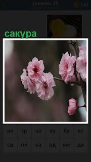 на ветке дерева растет сакура розового цвета, распустились бутоны