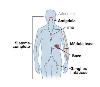 Se trata de un dibujo que muestra de forma esquemática el sistema inmunológico, formado por amigdala, timo, médula ósea y ganglios linfáticos