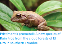 http://sciencythoughts.blogspot.co.uk/2016/07/pristimantis-prometeii-new-species-of.html
