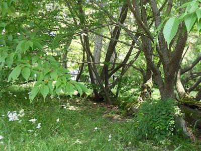 京都御苑 マツに生えたサクラ 桜の実