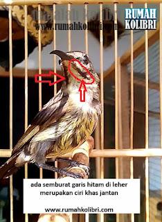 perbedaan jantan betina kolibri king konin