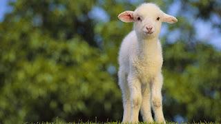 صور صور حيوانات اليفة 2019 خلفيات حيوانات جميلة small-sheep-wallpape