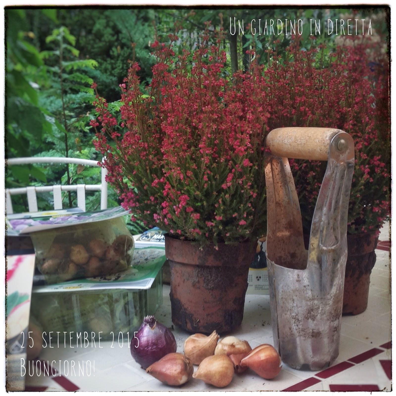 Fiori di settembre erica gracilis e bulbi per la for Fiori in giardino