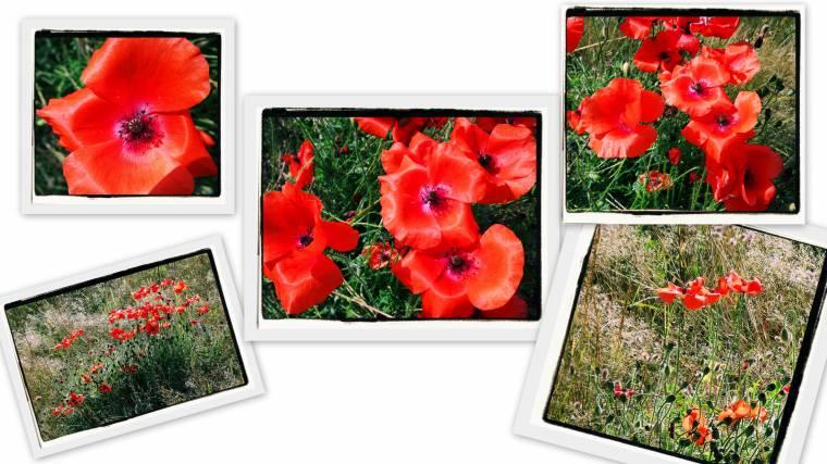 Wild Poppy's: Grow Wild And Grow Free.