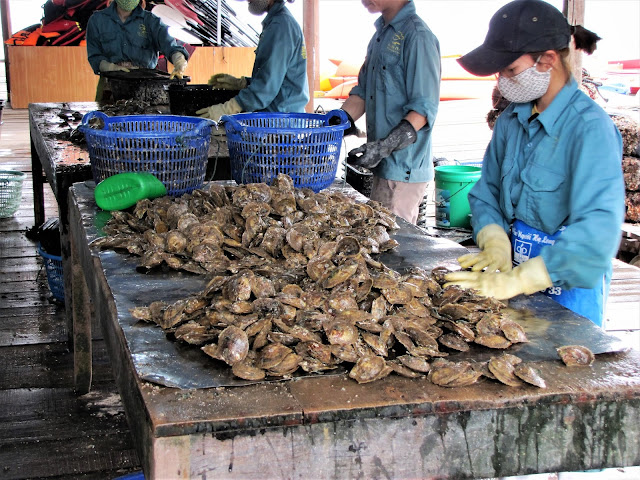 culling oysters halong bay vietanm