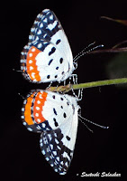 Animal, Insects, Butterfly