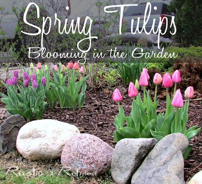Spring tulips in late spring