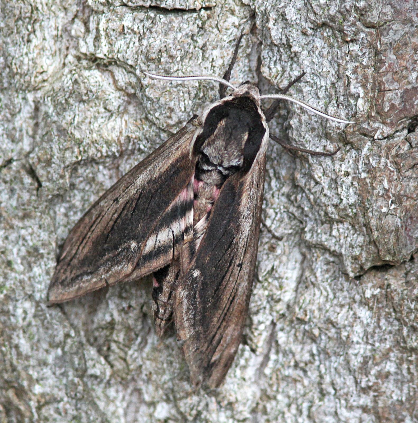 Privet hawk moth - photo#40